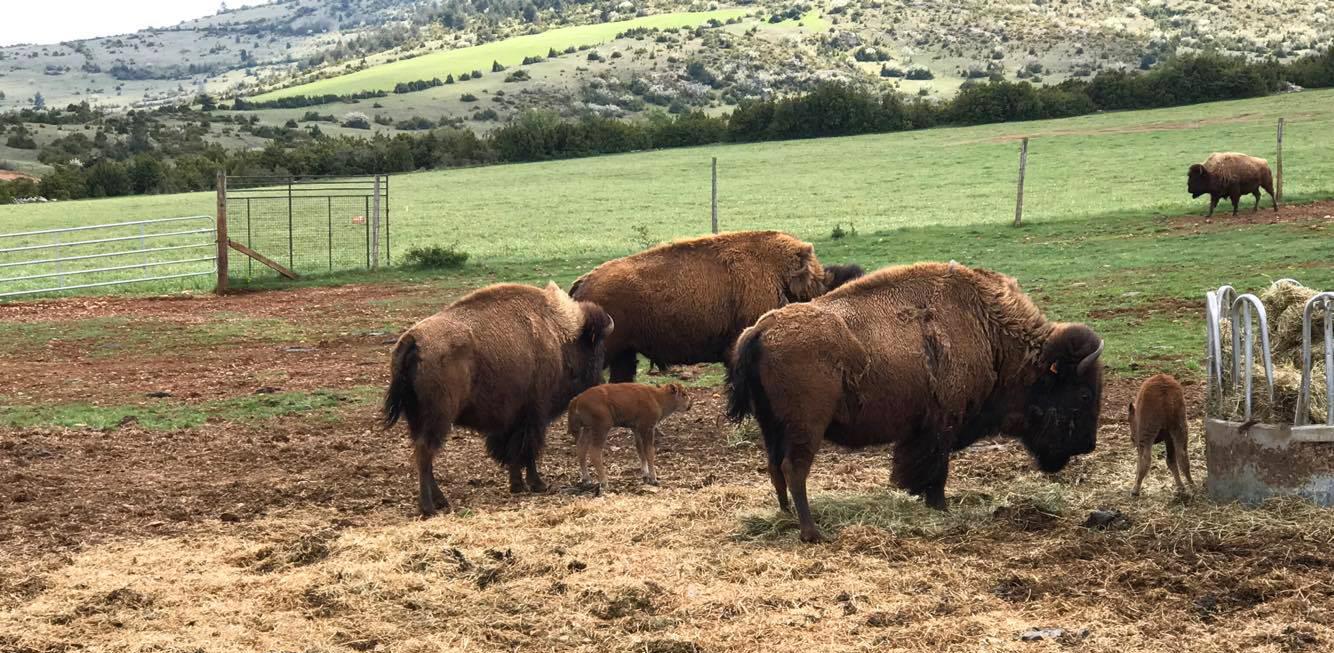 Deux premiers bébés bisons de 2017