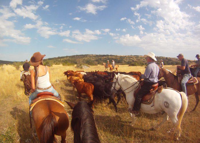 d-cavaliers-vaches2