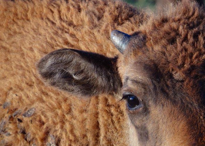 d-bb-bison2