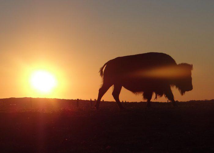 d-bison-coucher-soleil