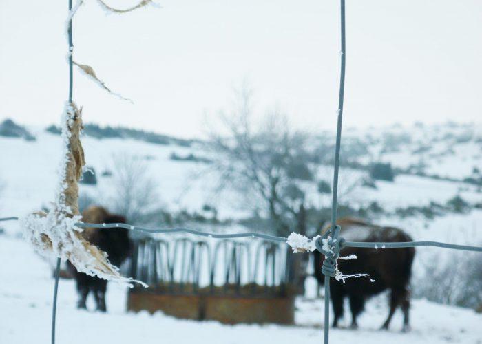 d-bison-neige