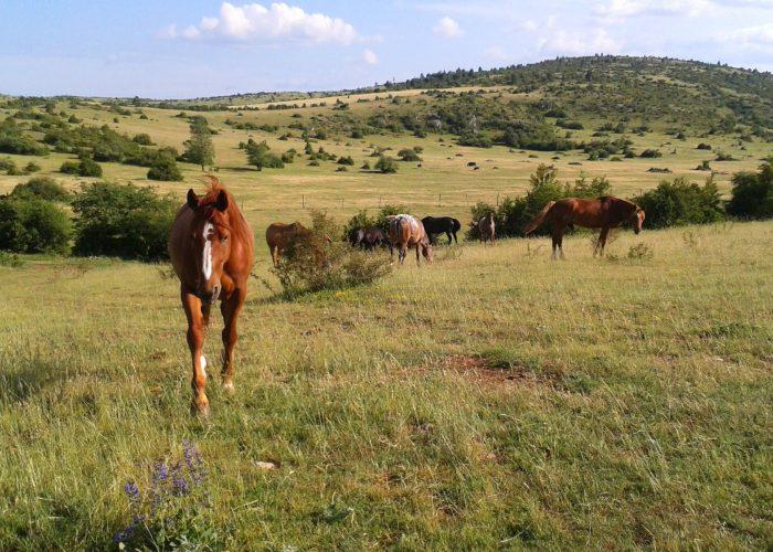 d-cheval-manu