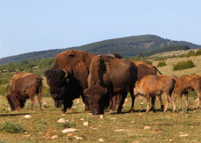 d-famille-bisons