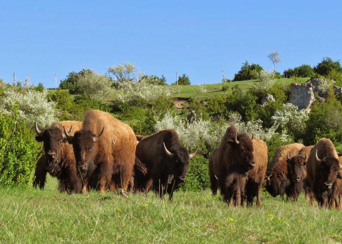d-jeunes-bisons