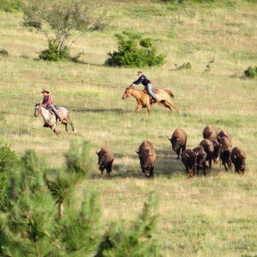 Nouveau spectacle de tri du bétail le 3 août