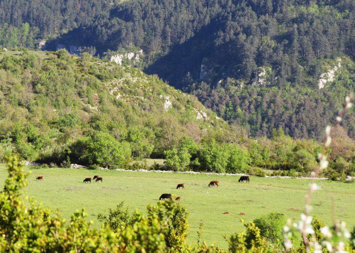 d-troupeau-vaches