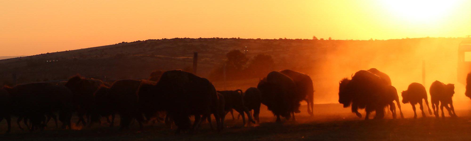 s-bisons-coucher-soleil