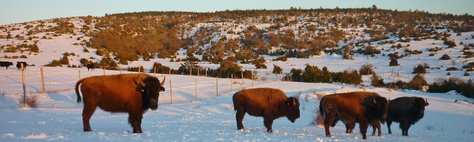 s-bisons-neige