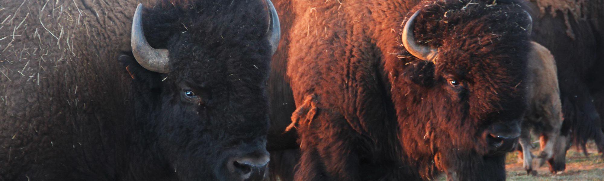 s-deux-bisons