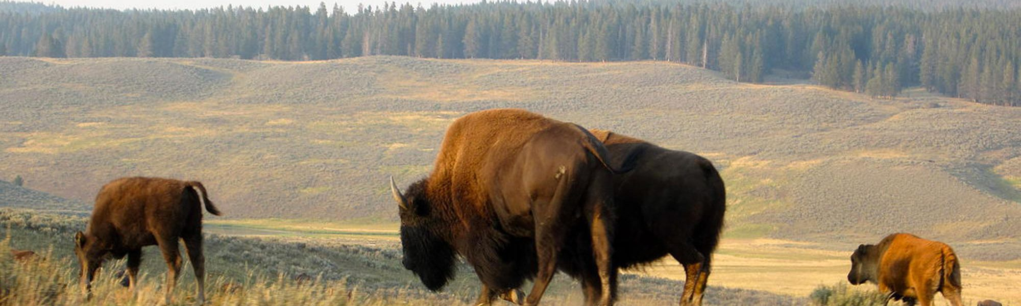 s-yellowstone-bisons