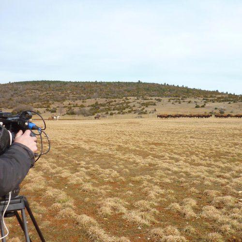 Les reportages sur Randals bison