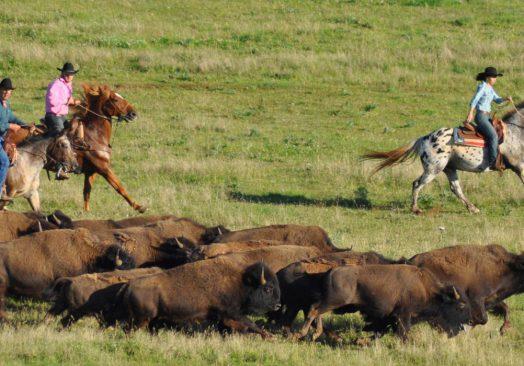 Spectacle de tri du bétail le 26 juillet