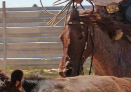 Spectacle de tri du bétail le 6 septembre