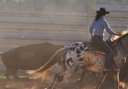 Spectacle de tri du bétail le 19 juillet