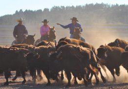 Spectacle de tri du bétail le 5 juillet