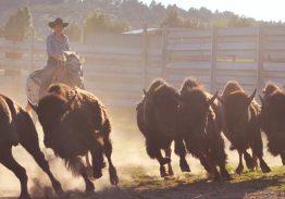 Spectacle de tri du bétail le 30 août