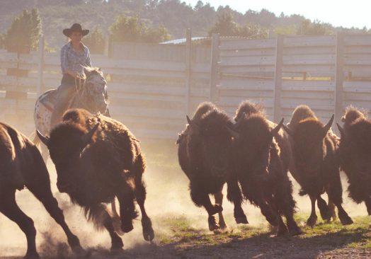 Spectacle de tri du bétail le 15 septembre 2018