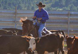 Spectacle de tri du bétail le 26 Août 2020