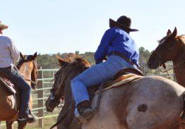 Spectacle de tri du bétail le 12 juillet
