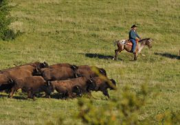 Spectacle de tri du bétail le 27 mai