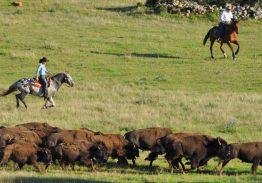 Spectacle de tri du bétail le 29 juin